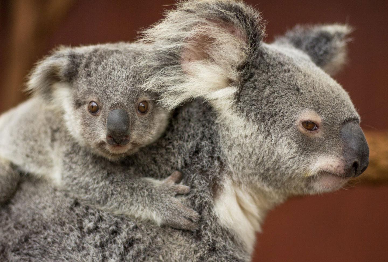 Koala-Projekt Australien